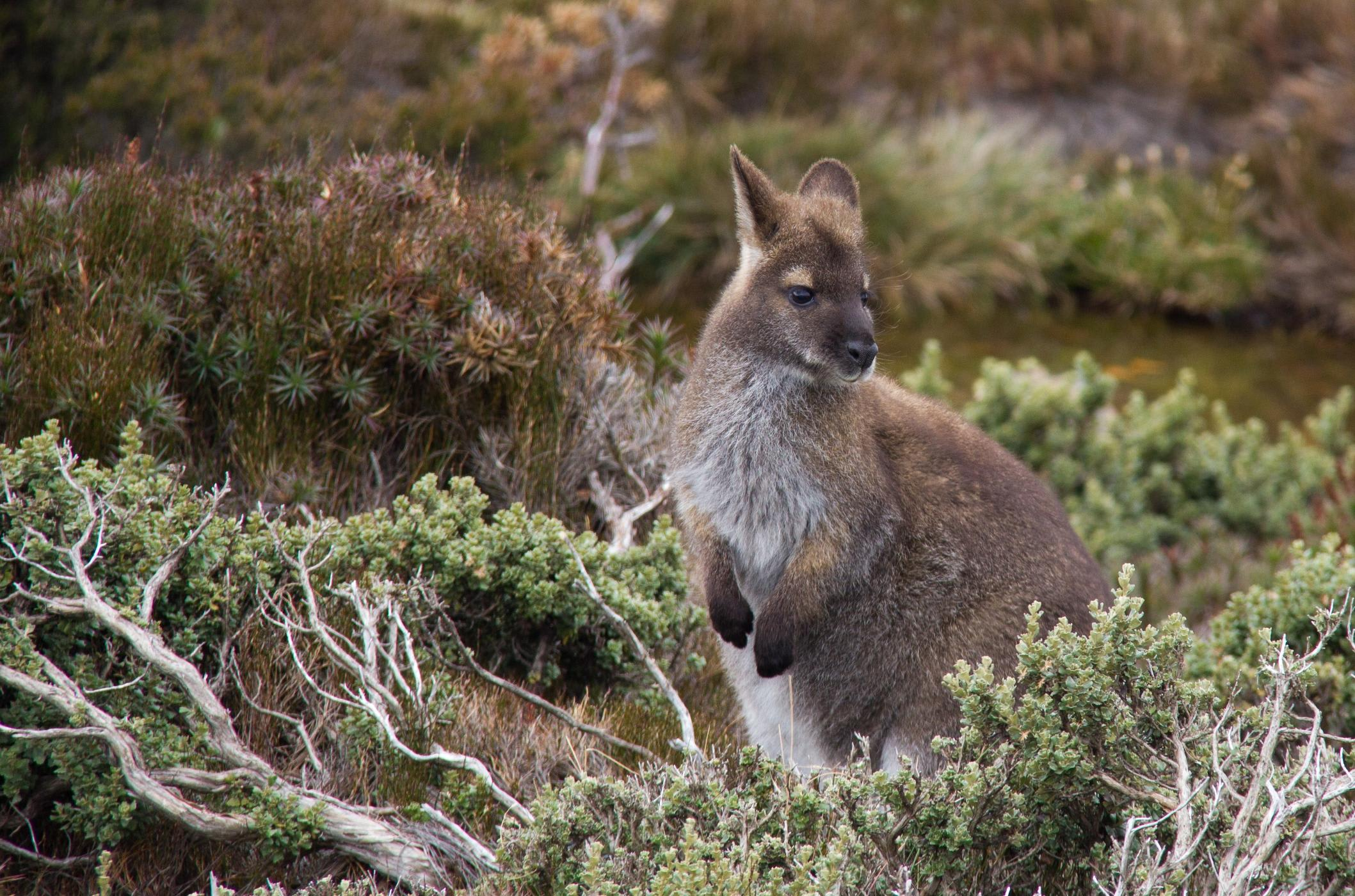Quoll Wildlife Spotting and Gourmet Campfire Dinner, Tasmania - For 4