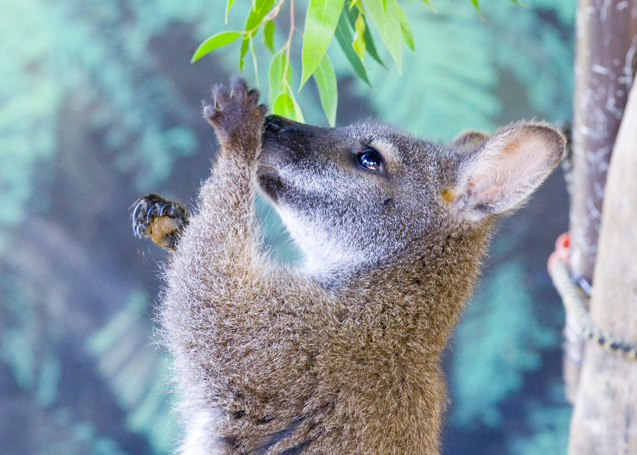 Maru Koala Park and Mini Golf Admission - Grantville, Melbourne