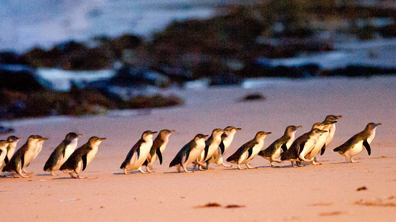 Penguin Parade and Koala Tour, For 2 - Phillip Island, Departs Melbourne