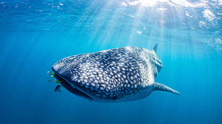 Whale Shark Swim Tour – Ningaloo Reef, Exmouth