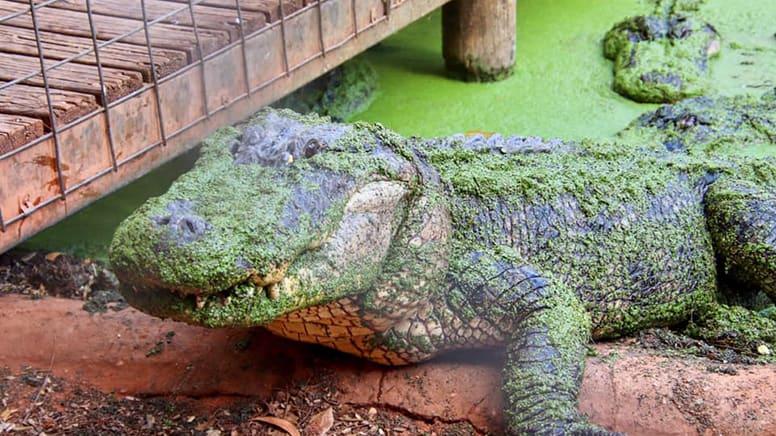 Crocodile Feeding Tour, 2.5 Hours - Broome