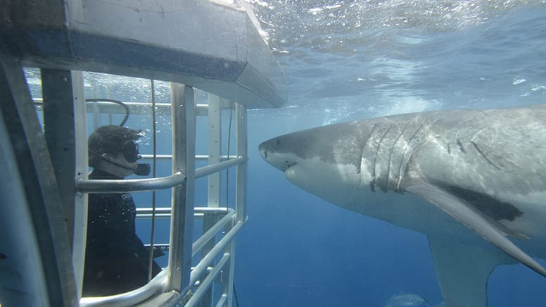 Great White Shark Sighting Experience - South Australia