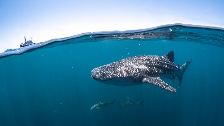 Swim with Whale Sharks, Full Day Snorkel Tour - Ningaloo Reef