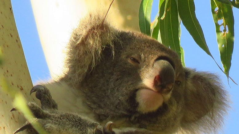 Koala-Spotting Tour, 3.5 Hours - Byron Bay