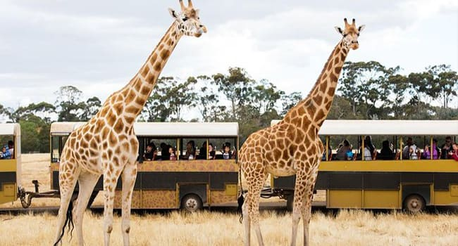 Werribee Open Range Zoo – Off Road Safari