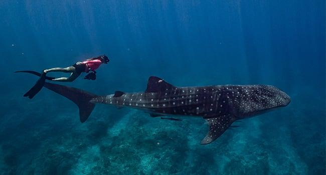 Whale shark swim tour