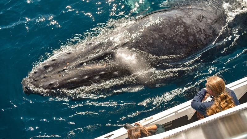 Swim with Humpback Whales, 3.5 Hours - Mooloolaba