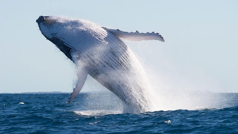 Whale Watching Cruise with Underwater Livestream, 2 Hours - Sunshine Coast