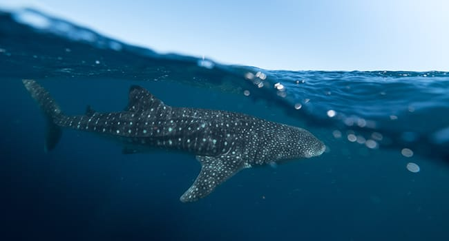 Swimming with whale sharks, Exmouth