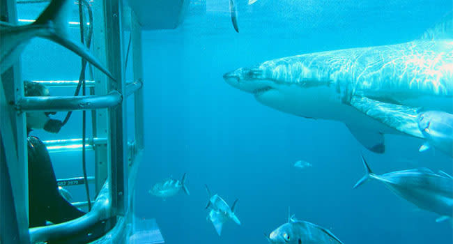 Shark cage dive, Port Lincoln