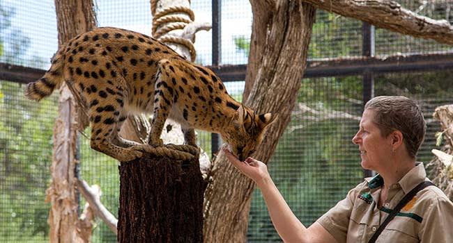 African Cat Encounter, Werribee Open Range Zoo