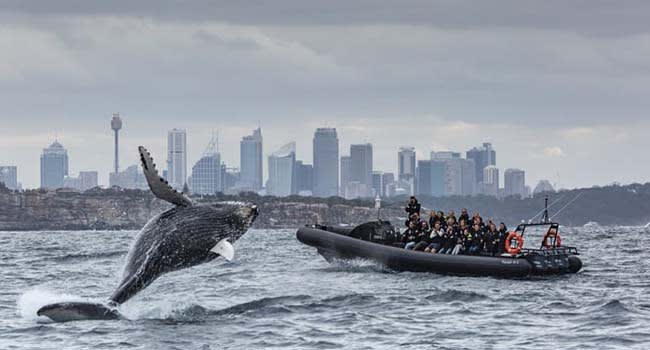 Extreme whale watching, Circular Quay