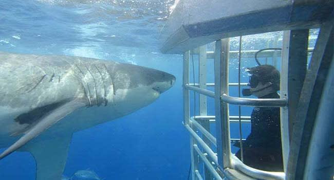 Great White Shark Cage Dive, Port Lincoln
