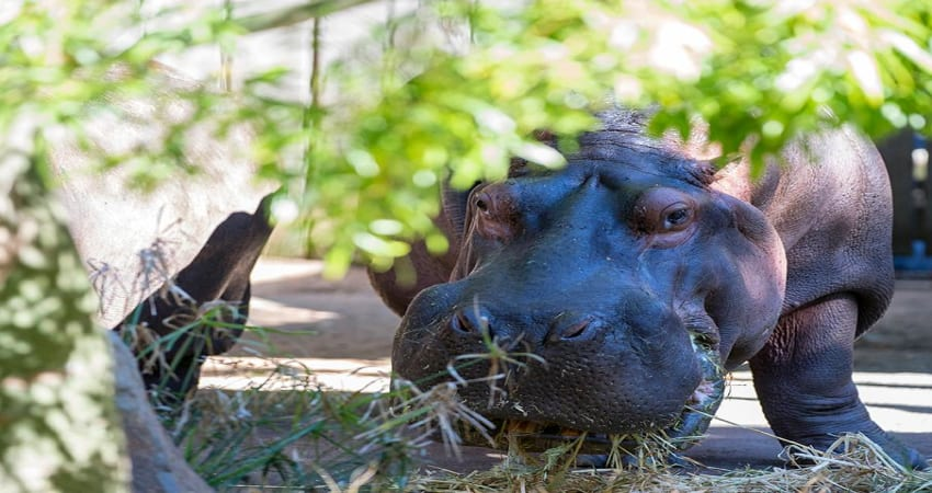 Hippo Encounter at Adelaide Zoo