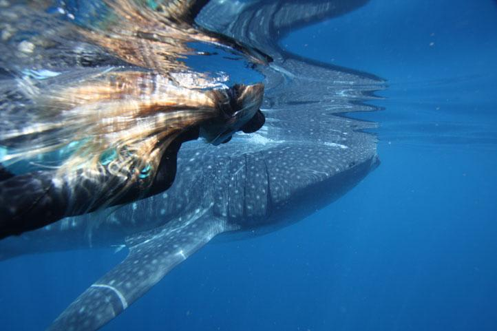 Whale Shark Swim and Snorkel Tour, Exmouth - With Lunch and Photos