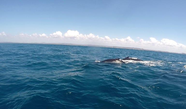 Whale Watching Cruise, 90 Minutes - Sunshine Coast