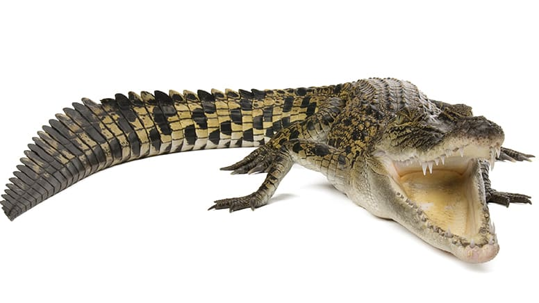 Kids Online Meet The Crocodiles Snakes and Lizards Experience