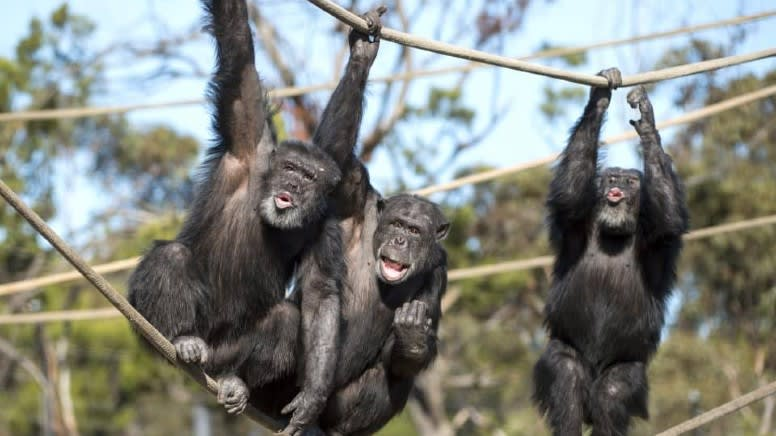 Chimps Encounter at Monarto Safari Park – Adelaide