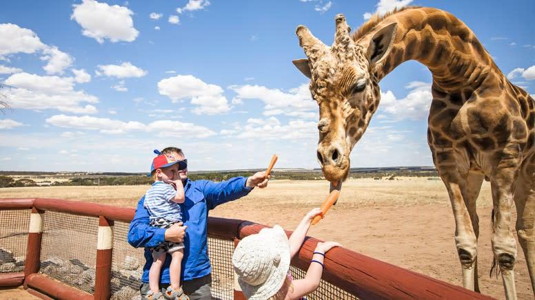 Giraffe Encounter at Monarto Safari Park–Adelaide