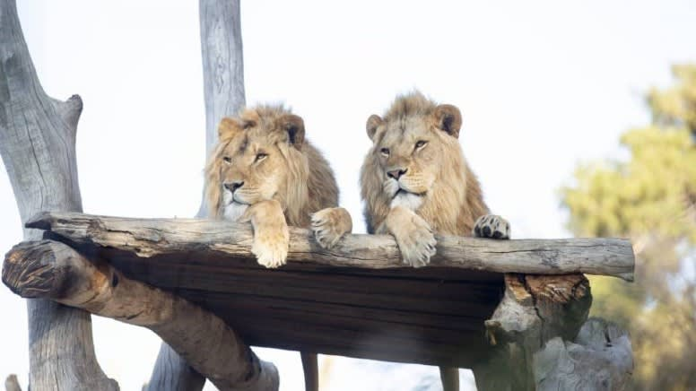 Meet the Lions Encounter at Monarto Safari Park – Adelaide