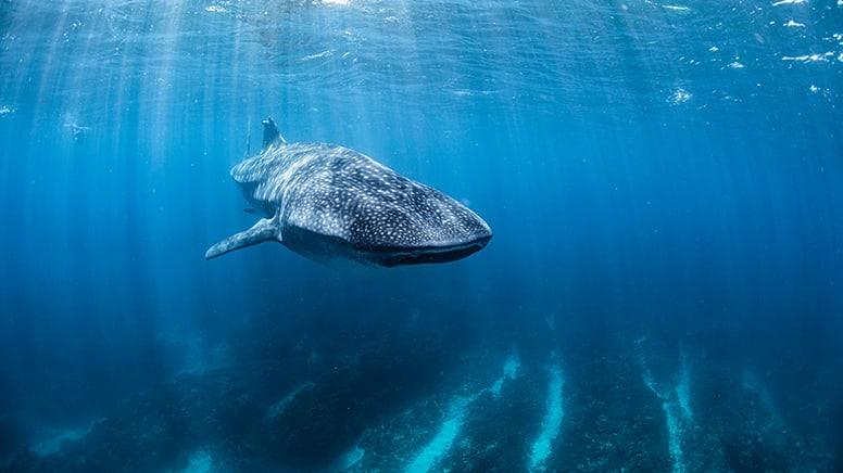 Whale Shark Swim Tour – Ningaloo Reef, Exmouth
