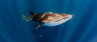 Swim With Sharks