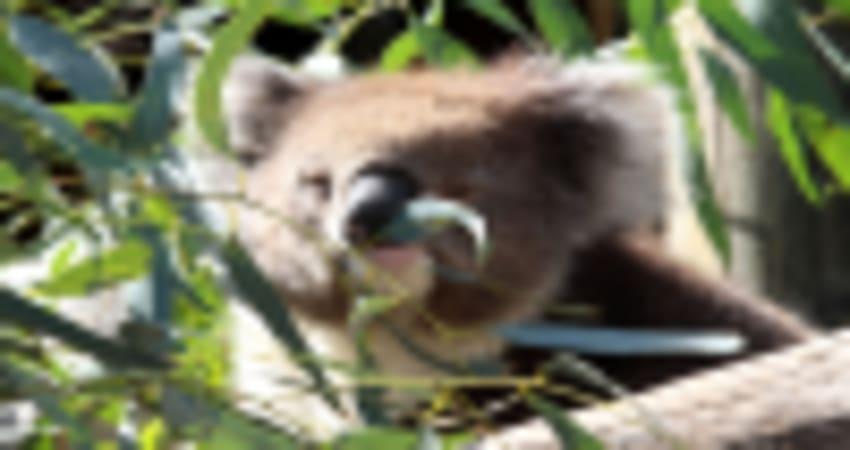Koala Encounter and a Day at Adelaide Zoo