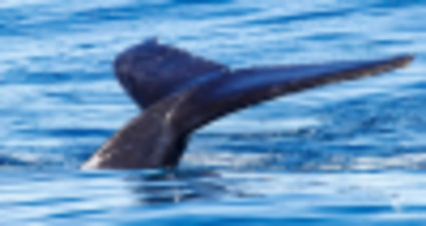 Catamaran Cruise and Swim with Humpback Whales - Exmouth
