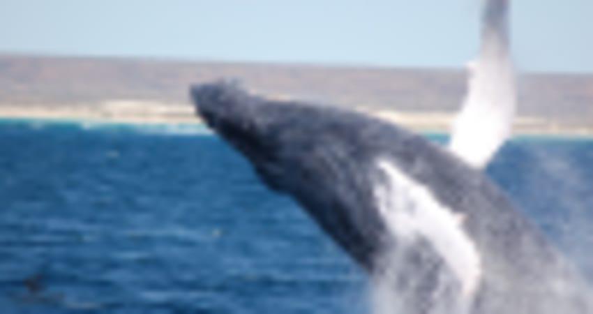 Seasonal Whale Watching Sailing Catamaran Cruise - Exmouth