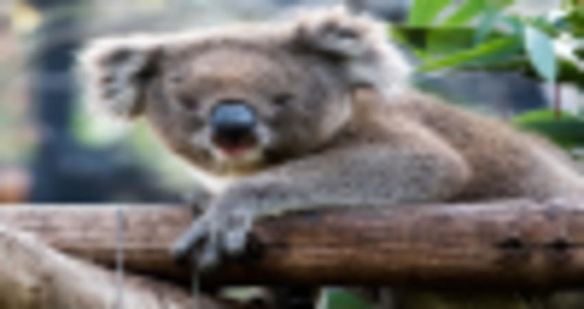 Koala Encounter and a Day at Adelaide Zoo