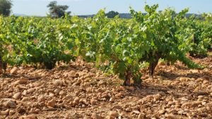 Dry Farmed vines at Chateau de Beaucastel in Chateauneuf-du-Pape