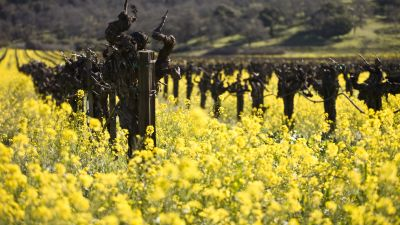 Dormant old vines with mustard cover crop