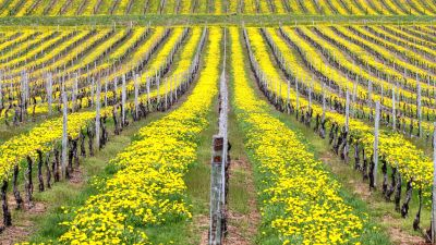 Organic Vineyards with Dandelion Cover Crop