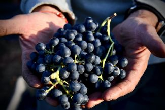 Hand-Harvested Whole Cluster Bunch of Grapes