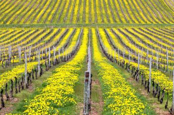Vineyards with cover crops
