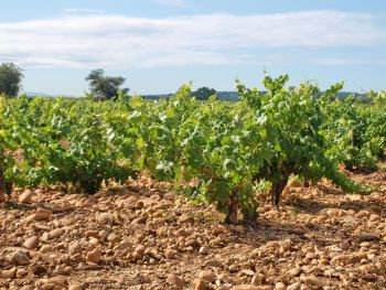 Dry Farmed vines in the Rhone Valley