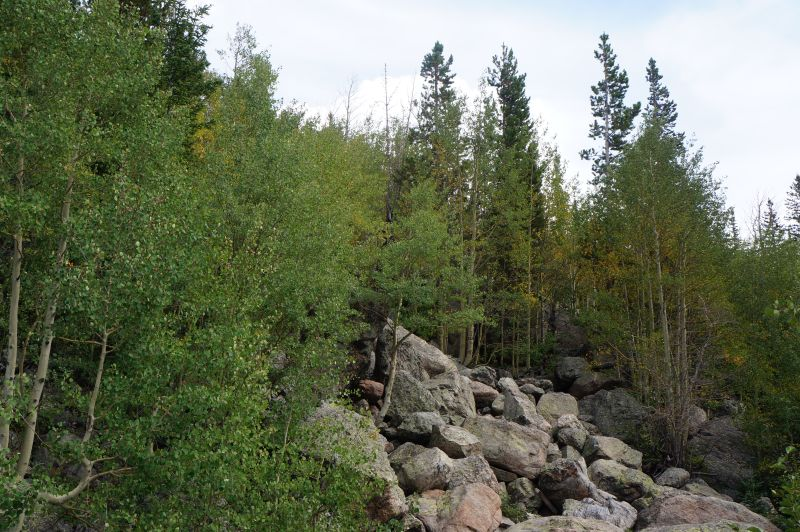 mostly green aspen trees