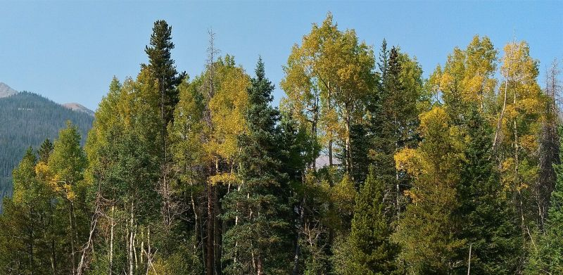 The aspen leaves are beginning to change at the Timber Lake Trailhead along Trail Ridge Road.