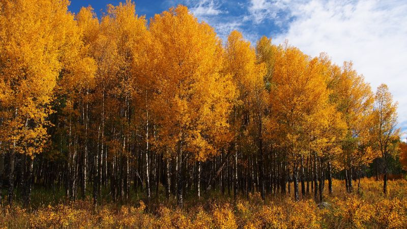 An aspen grove in Rocky Mountain National Park in full fall foliage splendor.