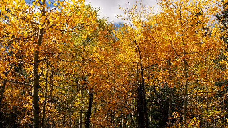 There are some golden aspen groves hanging out on the Gem Lake Trail.