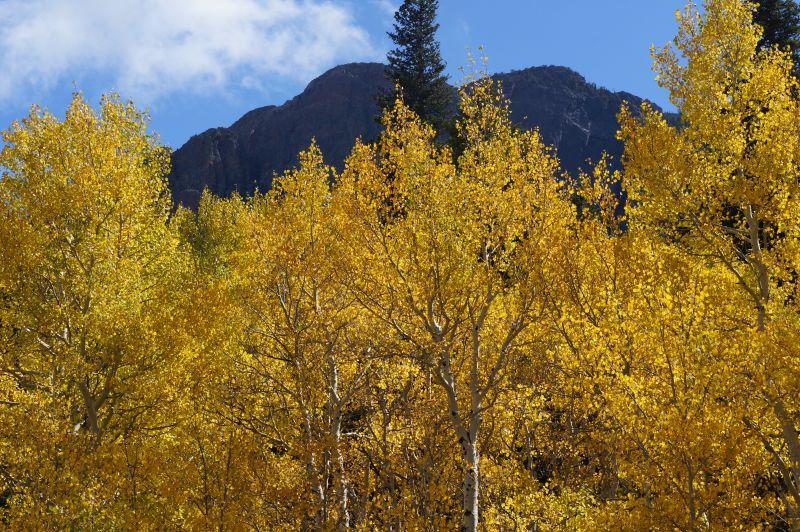 The aspen leaves at Twin Sisters were bursting with autumn color on September 26.
