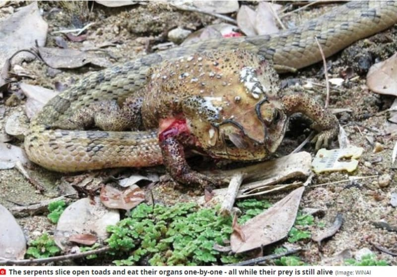These Snakes Slice Open Toads & Eat Their Organs While Prey Is Still Alive