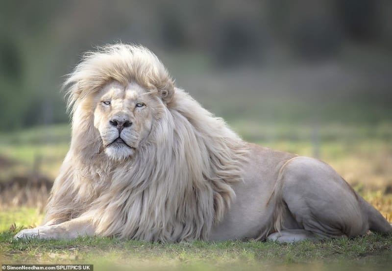 Rare White Lion With Gorgeous Hairstyle
