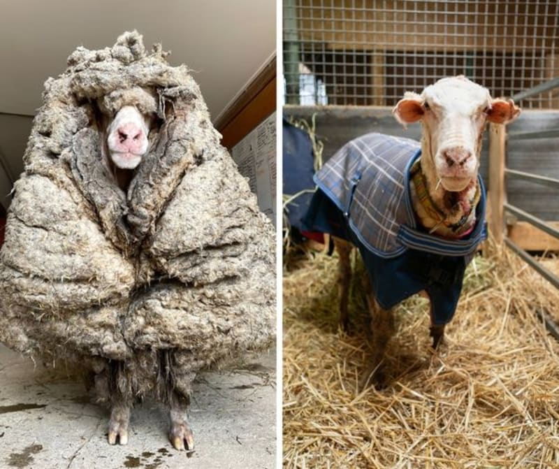 This Is What A Sheep Looks Like After Five Years Without Shearing