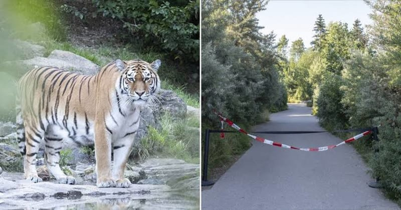 Tiger Mauls Female Zookeeper To Death In Front Of Horrified Visitors