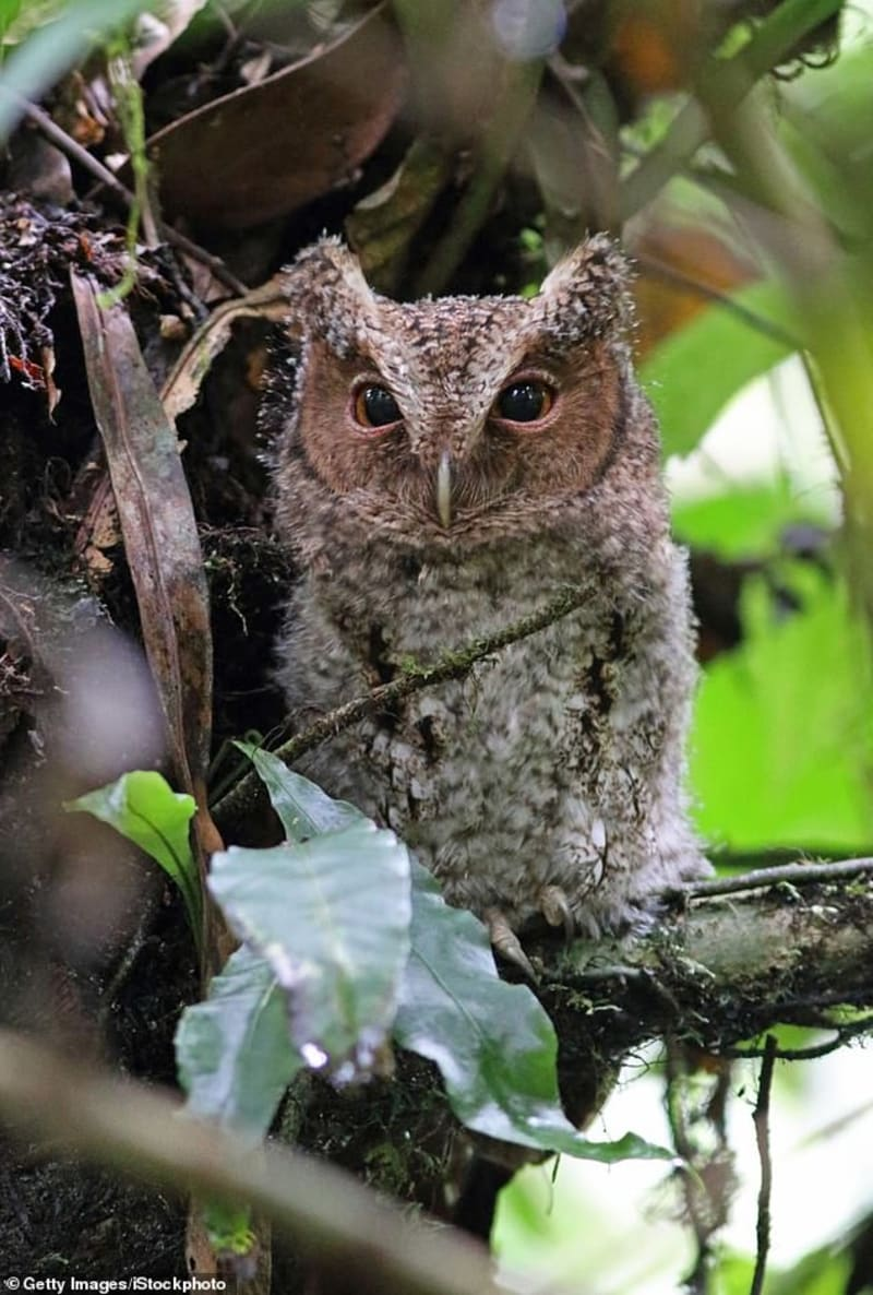 Rare Orange-Eyed Owl Not Seen For Almost 125 Years Spotted In Malaysia