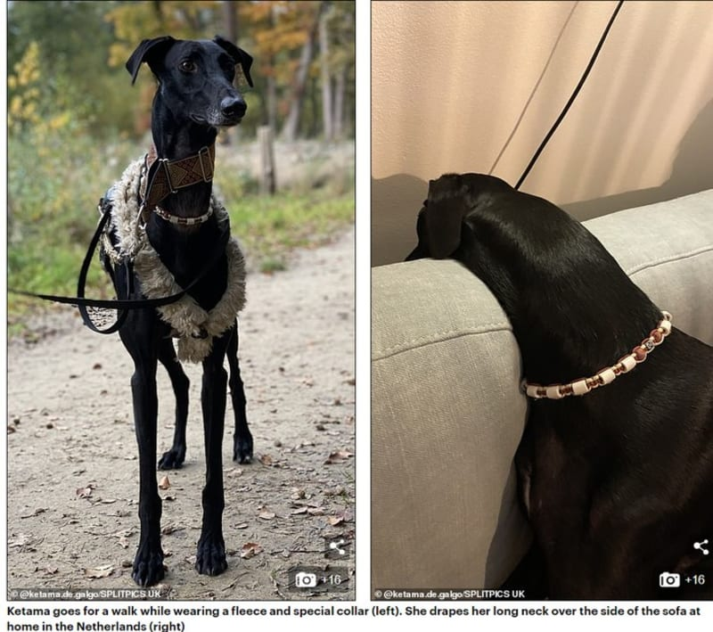 Dog That Looks Like A Giraffe! Thanks To Her Incredibly Long Neck