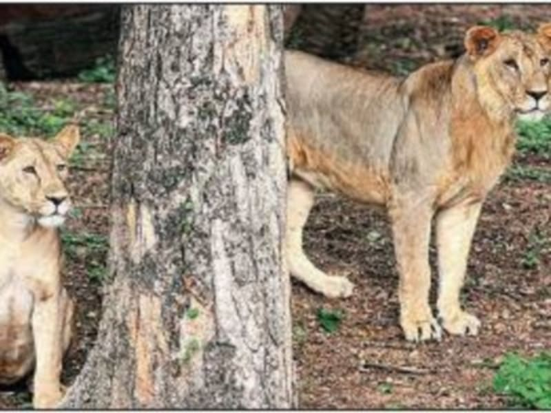 8 Lions In Indian Zoo Test Positive For COVID-19