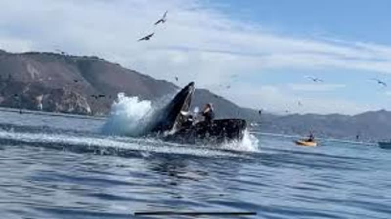 Humpback Whale Nearly Swallows Kayakers  In California (Video)
