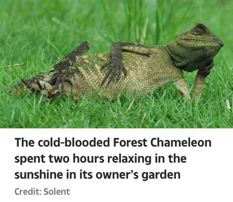 Super-Chilled Chameleon Leans On His Arm As He Reclines In The Sunshine